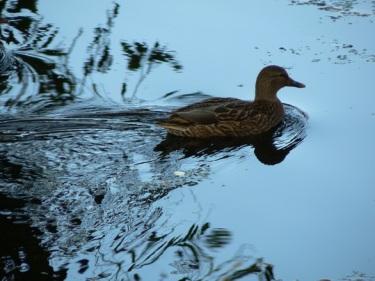 duck-1564060